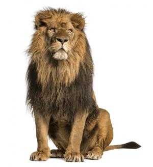 Predatorus lev